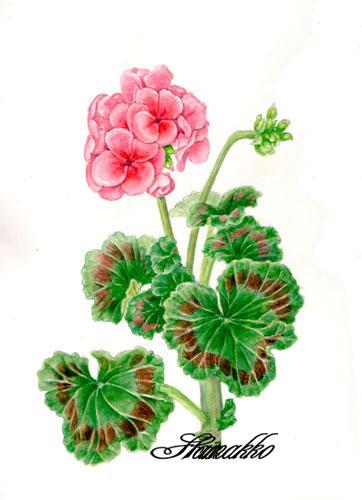 Botanical Art Watercolors Pelargonium Geranium