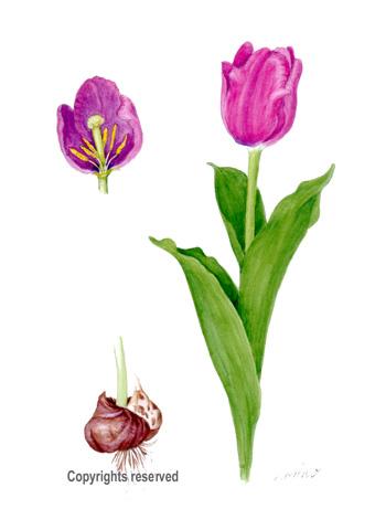 Botanical Art Botanical Painting Flower Painting Tulip