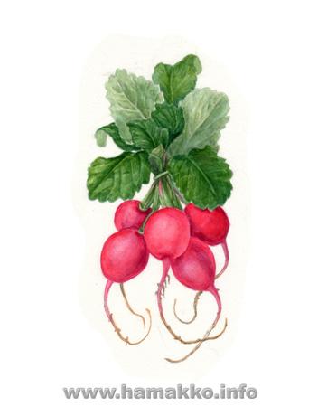 Botanical Art, Botanical painting, Flower painting. Radish