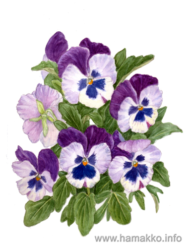 pansy flower drawing - photo #22
