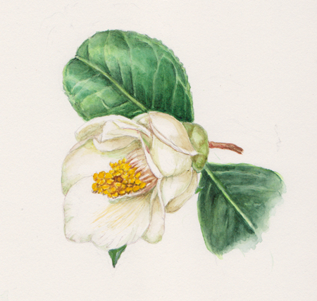 Camellia Flower Painting Painting Flower Painting