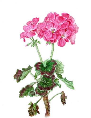 ゼラニウム ボタニカルアート 植物画 無題ドキュメント