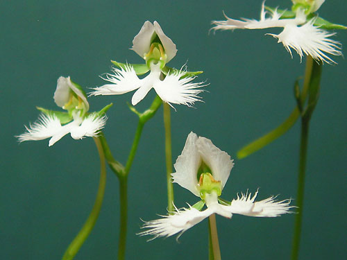 Habenaria radiata white egret flower because of the high temperature of this summer this plant have had beautiful flowers though the flowers are small they look like the white herons that mightylinksfo